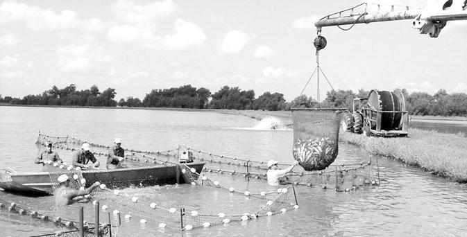 Catfish-farming-in-Southern