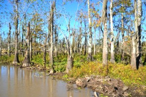 There are few young trees in an unhealthy area of the Maurepas Swamp. It is suffering from a lack of freshwater from natural flooding and from the penetration of saltwater through canals dug for logging. If nothing is done, scientists say the forest will become open water over time.